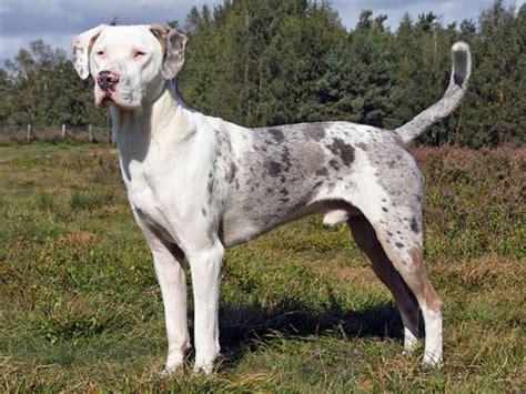catahoula hound catahoula leopard hound