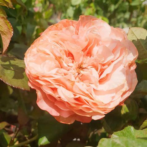 kak longpenggemar bunga english rose  patut tengok ni