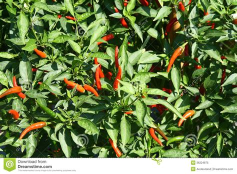 Chili Garden by Chili In Garden Royalty Free Stock Photo Image 36224875
