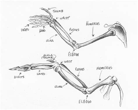 bird wing diagram bird anatomy on anatomy bird wings and bats