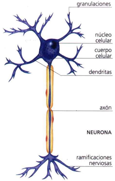 identificar imagenes sensoriales biologia octavo la neurona y sus partes