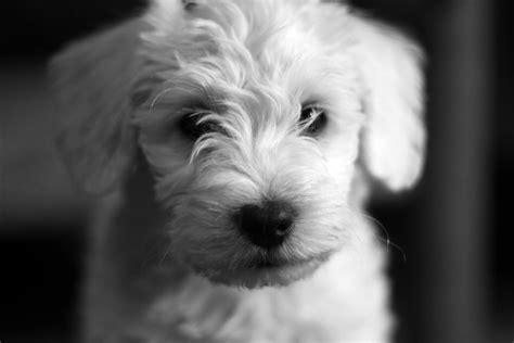 schnauzer poodle mix puppies schnauzer poodle mix puppies