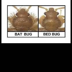 bat bugs vs bed bugs 130 best images about patrick s pest control on pinterest