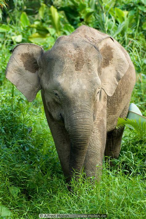Borneo pygmy elephant picture. Kinabatangan river wildlife ...