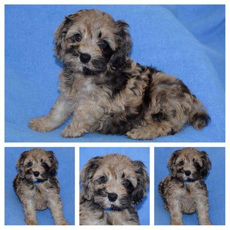 puppy kisses danbury cockapoo id 5643a
