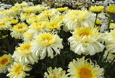 Bild Mit Echten Pflanzen by Leucanthemum Realflor 174 Real Charmer Planthaven
