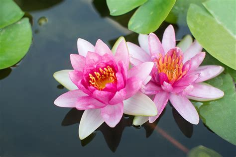 lotus flower growing lotus plant information tips on growing lotus plants