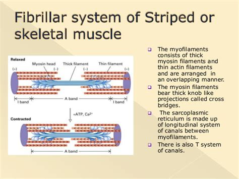 Myofilament With A Knob Like by Physiology Of Contraction