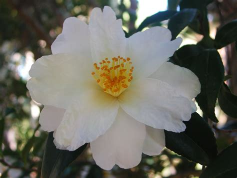 white camellia flower nature photo gallery