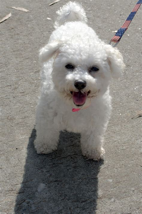 Do Maltese Dogs Shed Hair by Top 10 Breeds With To No Shedding