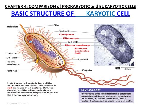 flashcards microbiology    eukaryotic cell