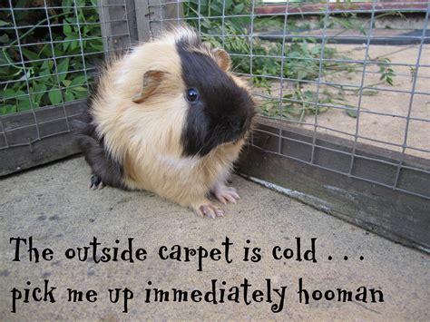 Guinea Pig Meme - grumpy guinea pig meme hutch a good life