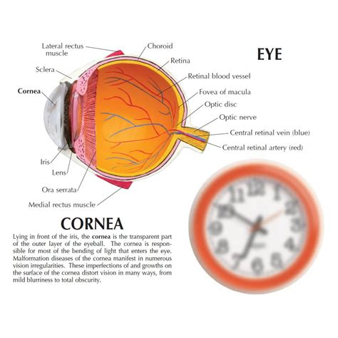 sectional anatomy of the eye anatomical model cornea eye cross section