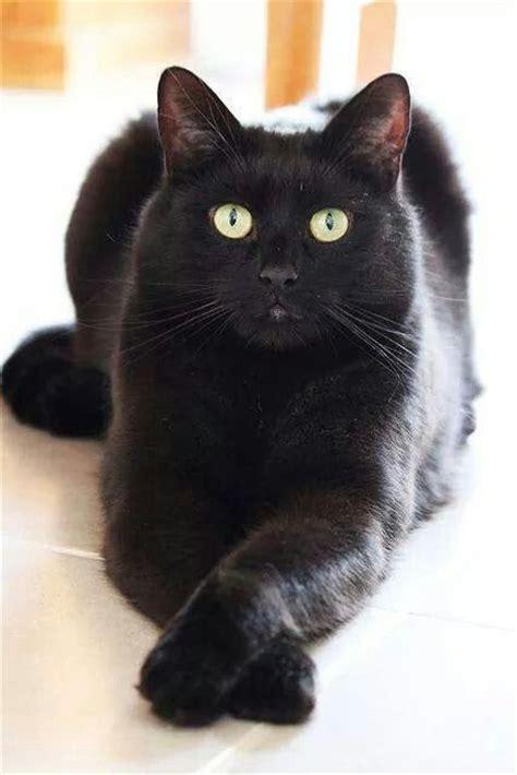 ideas  black cats  pinterest black kitty