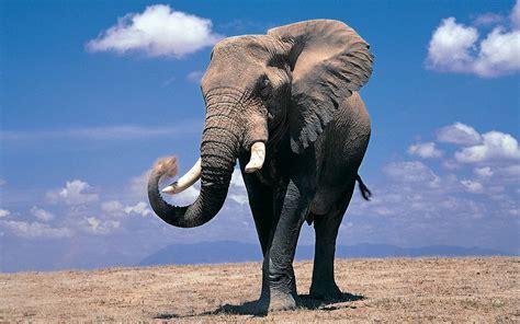 wallpaper elephant cute cute elephant wallpapers hd 10947 wallpaper walldiskpaper