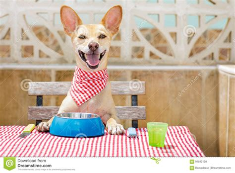 chihuahua dog eating food from a bowl royalty free stock dog eating a the table with food bowl stock photo image
