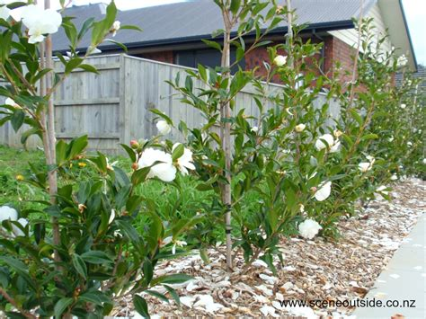 about garden design camellia early pearly