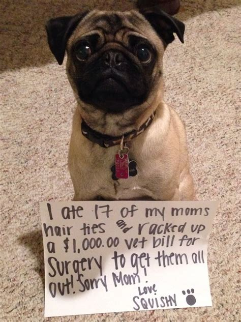 pug shaming 29 best pug shaming images on animals animal and pets
