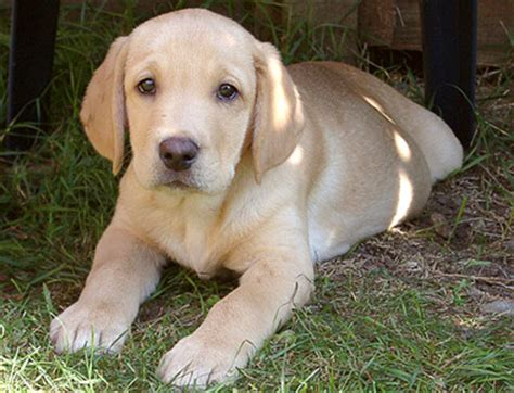 yellow lab puppy names lab names for yellow labradors