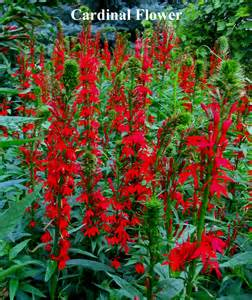 cardinal flower plants and seed mixes