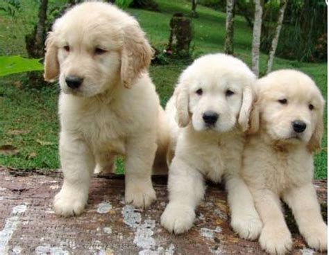 golden retriever florida puppies for sale in florida petsale inc