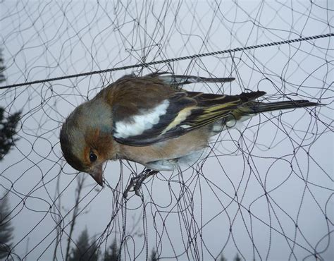 a chaffinch in a net used to trap birds in italy