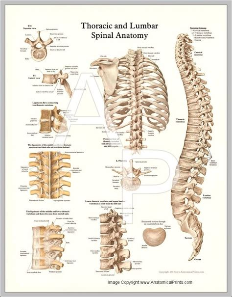 thoracic spine diagram pin of thoracic spine x tests and exams