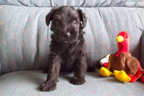 puppies for sale in dubuque iowa schnauzer puppies in iowa breeds picture