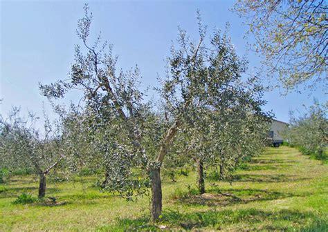 potatura olivo vaso policonico come potare l ulivo allevamento a vaso policonico