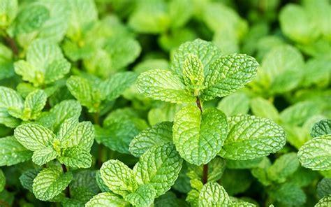 herbs  grow   beginners herb garden