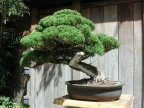 bonzi tree bonsai tree