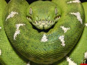 green anacondas dangerous snakes in the world the wildlife