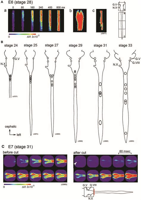 pattern generator spinal cord frontiers development of spontaneous activity in the