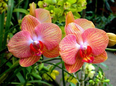 fiori di orchidee l orchidea scegli quella fa per te giardinaggio