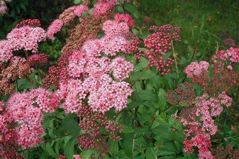 dwarf spiraea shrubs focus on flowers indiana public media