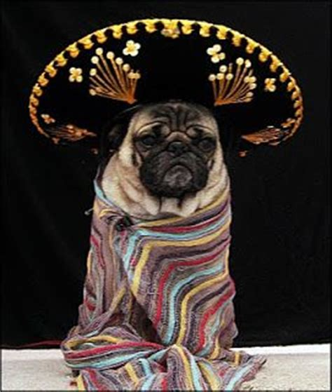 mexican pug pug hat hat pug mexican pug and amazing pintere