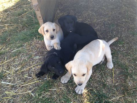 labrador puppies and dogs for sale pets classifieds labrador puppies for sale exeter devon pets4homes
