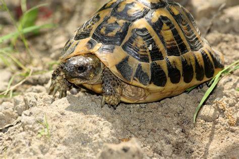 alimentazione tartarughe hermanni testudo hermanni hermanni forum natura mediterraneo