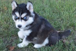 all black husky with blue eyes about animals