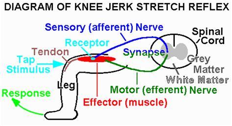 diagram of knee reflex image gallery knee reflex diagram
