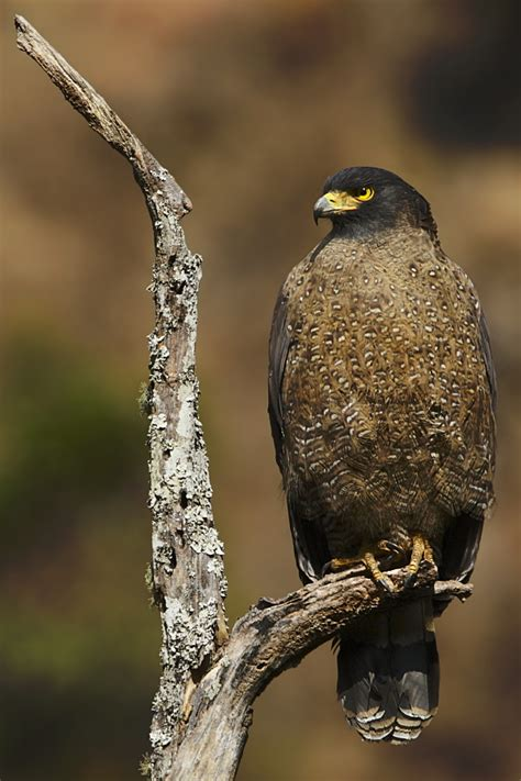 Pakan Alternatif Branjangan jenis jenis elang dan burung di indonesia hewan