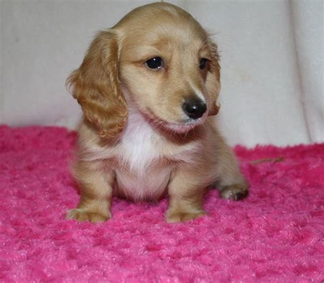 puppies for sale in nc 1000 ideas about dachshund puppies for sale on