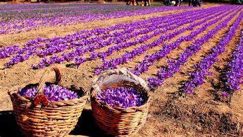 libro la flor del azafrn where saffron is grown shield invest