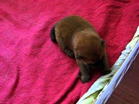 house a puppy in 5 days chow chow puppies in 6 7 days trying to walk