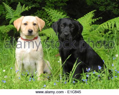 golden retriever puppy walking distance yellow labrador golden retriever mix puppy with a tennis stock photo