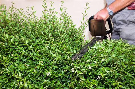 Kirschlorbeer Hecke Welche Sorte 2400 by Gesetzliche Bestimmungen F 252 R Den Heckenschnitt Tipps