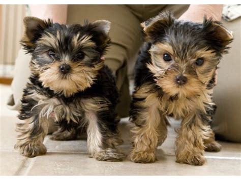 two week yorkie puppy hola paco qu tal yorkie paco stolen and recovered
