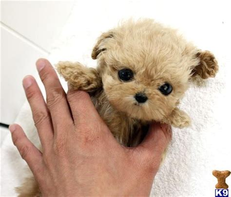 how much are teacup dogs 25 best teacup puppies ideas on teacup dogs teacup puppies and