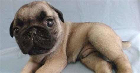 pug puppies las vegas pug puppies for sale in las vegas