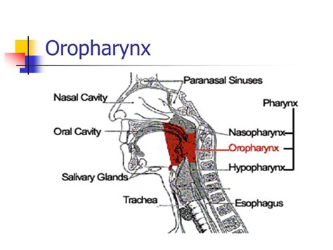 oropharynx diagram oropharynx related keywords oropharynx